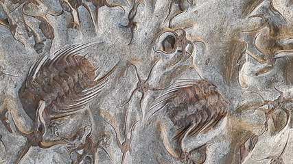 EchinodermataOrdovicianFossils ErfoudMorocco MuseeCantonalDeGeologie-Lausanne RomanDeckert20210424.jpg