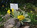 Echte Aurikel (Primula auricula).jpg