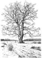 Eiche im Winter, Lehrbuch der Botanik (Schmeil 1911, Seite 10, HG weiß).png