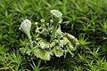 Eichhof 06.08.2017 Cladonia sp. (37159165512).jpg