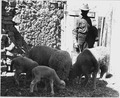 El Cerrito, San Miguel County, New Mexico. Ewes and lambs in a corral in the village. The staple c . . . - NARA - 521211.tif