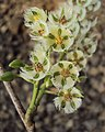 Elaeocarpus serratus flower.jpg