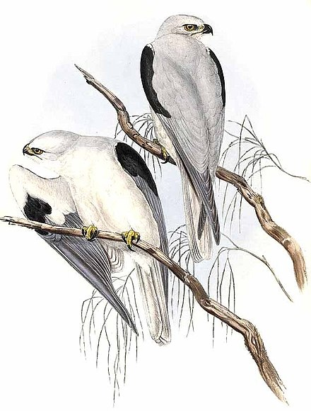 Illustration in John Gould's Birds of Australia, 1840s Elanus axillaris Gould.jpg