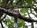 Elegant Trogon (female) Huachuca Canyon Sierra Vista AZ 2018-08-26 10-26-20-2 (48038403721).jpg
