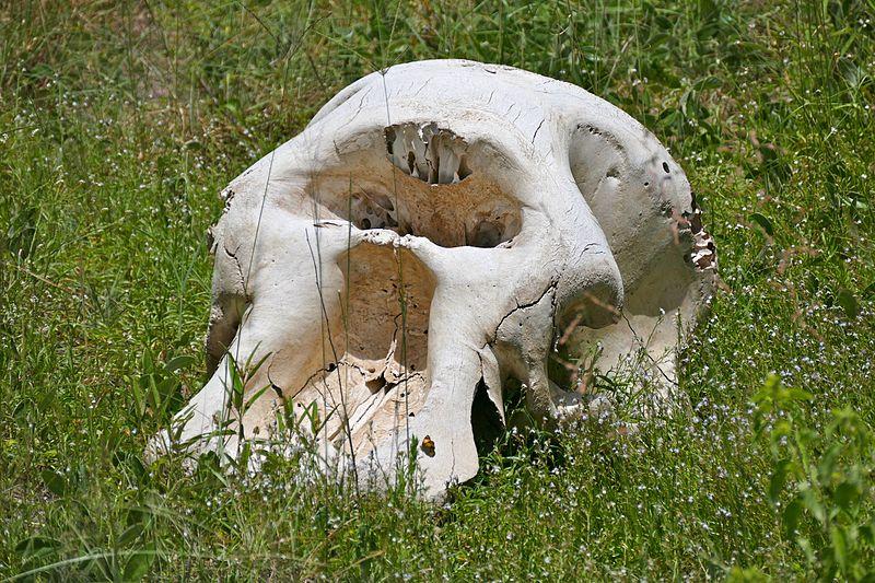 File:Elephant Skull (17264194205).jpg