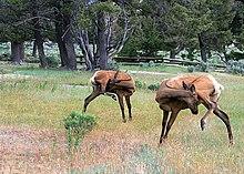 Photograph of a Rocky Mountain elk