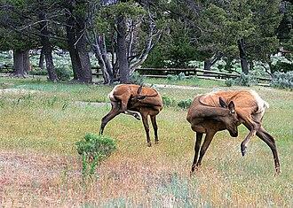Elk - Rocky Mountain elk