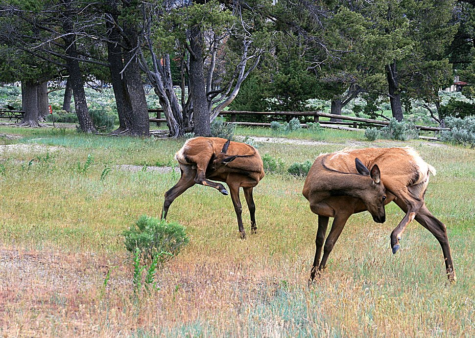 Elks in yellowstone national park