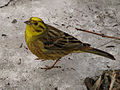 Emberiza citrinella in Pushchino 4.jpg