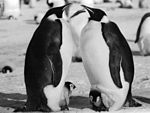 Emperor Penguin Parents and Chick.jpg