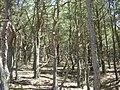 Empetro-Pinetum cladonietosum.jpg