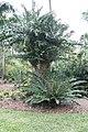 Encephalartos gratus 6zz.jpg