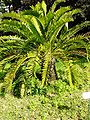 Encephalartos longifolius01.jpg