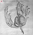 Engraving of a Fructus Durionis Minoris Cham Wellcome L0032840.jpg