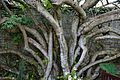 Entwined trunks at Quex House Birchington Kent England.jpg