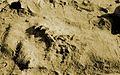Eoraptor lunensis.jpg
