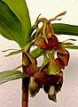 Epidendrum carchiense (11659483606) - cropped.jpg