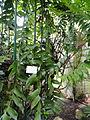 Epiphyllum chrysocardium - Palmengarten Frankfurt - DSC01881.JPG