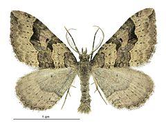 240px epyaxa rosearia male