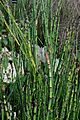 Equisetum hyemale Tatton 1.jpg