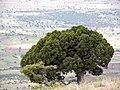 Erenler tepesinde ardıç ağacı - panoramio.jpg