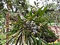 Eria excilis-1-bsi-yercaud-salem-India.jpg