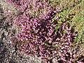 Erica carnea 'Challenger' (Ericaceae) plant.jpg