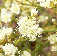 Eriogonum heermannii var sulcatum 6