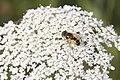 Eristalis arbustorum-4419.jpg
