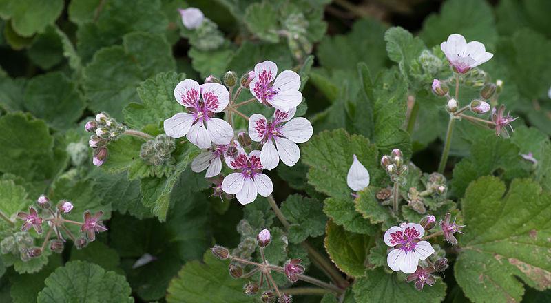 File:Erodium trifolium.jpg