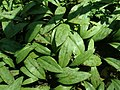 Erythronium americanum 2019-04-16 0324.jpg