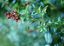 Escallonia rubra.jpg
