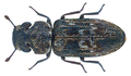 Ethelema luctuosa Pascoe, 1860 (30183999394).png