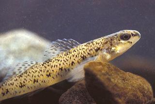 Johnny darter Species of fish