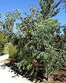 Eucalyptus diversifolia - Jardín Botánico de Barcelona - Barcelona, Spain - DSC08987.JPG