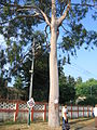 Eucalyptus tree at Hira Nagar Railway station1.JPG