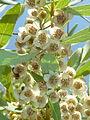 Euclea undulata, blomme, e, Faerie Glen NR.jpg