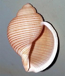 <i>Eudolium</i> Genus of gastropods