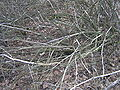 Euonymus europaeus eating rabbit winter brok beentree.jpg