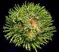 Euphorbia flanaganii cristata ies.jpg