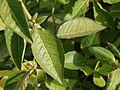 Euphorbia heterophylla L. (4666364249).jpg