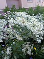Euphorbia marginata ў Мінску 123.jpg