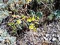 Euphorbia nevadensis Habitus2.jpg