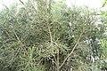 Euphorbia tirucalli 23zz.jpg