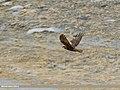Eurasian Marsh Harrier (Circus aeruginosus) (37764805221).jpg