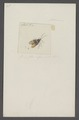 Eurydema - Print - Iconographia Zoologica - Special Collections University of Amsterdam - UBAINV0274 040 02 0007.tif
