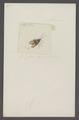 Eurydema - Print - Iconographia Zoologica - Special Collections University of Amsterdam - UBAINV0274 040 02 0007.tif
