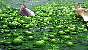 Algae Converted to Butanol: Fuel Can Be Used in Automobiles