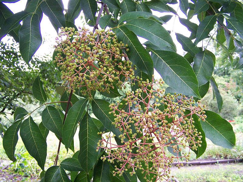 feuilles et fleurs en bouton de l'arbre à miel