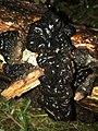Exidia glandulosa 58431273.jpg